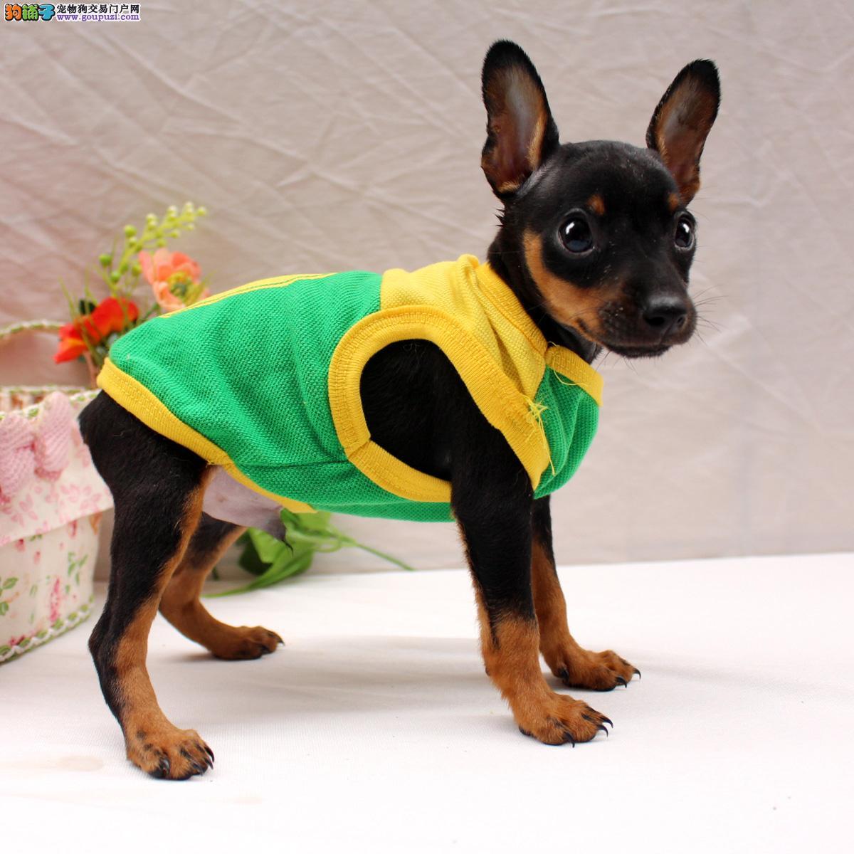 天津现出售小巧玲珑的小鹿弟弟妹妹狗狗免疫做齐了