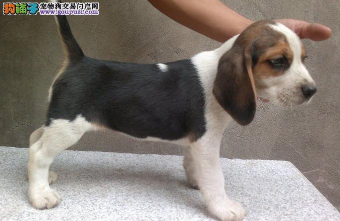 CKU认证犬舍 精品比格 签署购犬协议