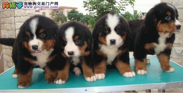 出售伯恩山幼犬品质好有保障狗贩子请绕行