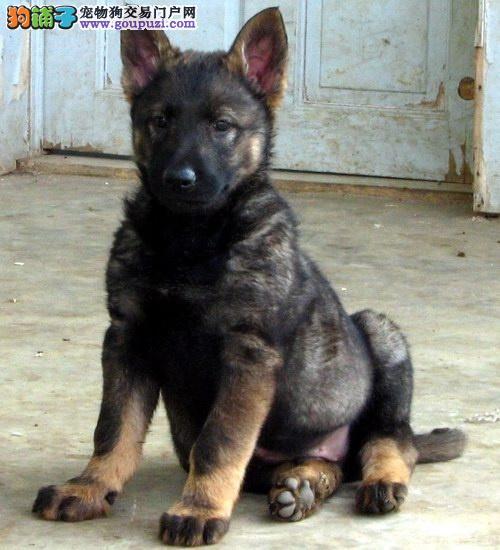 实物拍摄的郑州昆明犬找新主人优质服务终身售后
