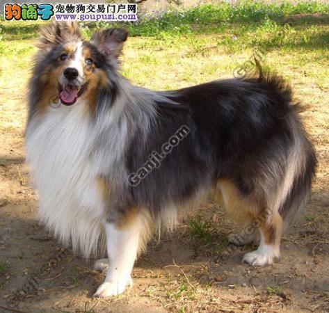 上海高品质纯种健康喜乐蒂犬终身保障可来场挑选可送家