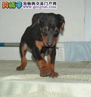 纯种出售 德系杜宾犬公母幼犬。血统纯正,骨骼大