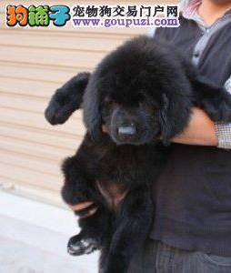 昆明市纽芬兰犬出售 质保三年 终身售后服务 保健康