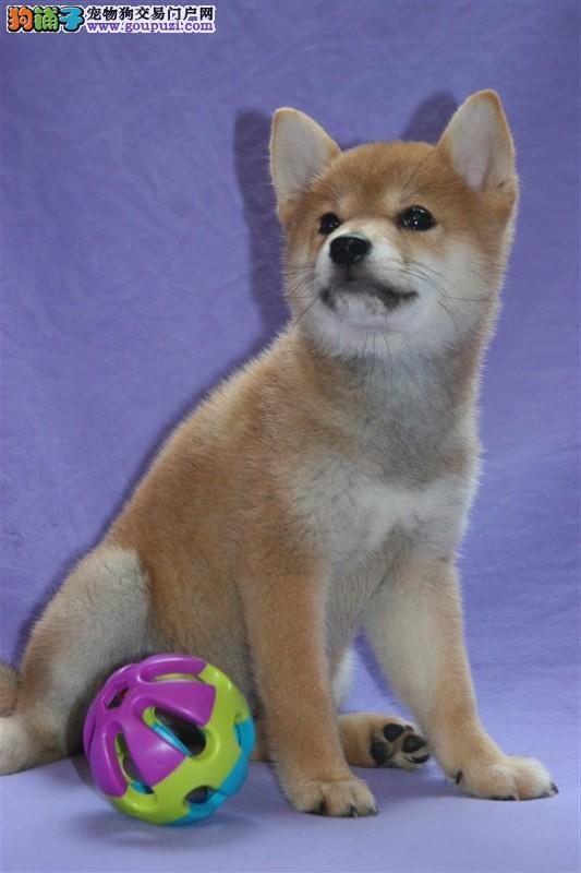 合肥出售忠诚帅气的柴犬 日本忠诚的小柴狗狗公母都有