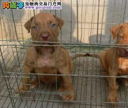 西安市出售比特犬 公母都有 疫苗齐全 三个月包退换