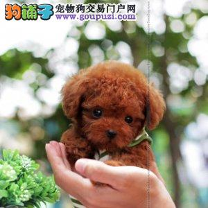 实体店出售优秀贵阳泰迪犬 国外引进品种优秀有证书