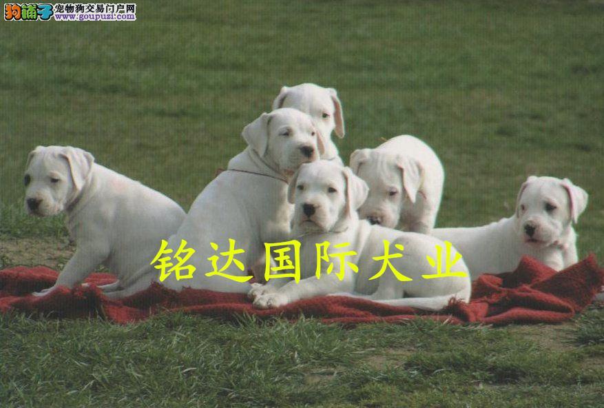 基地出售纯种杜高杜高幼犬赛级杜高犬欢迎上门看可送货
