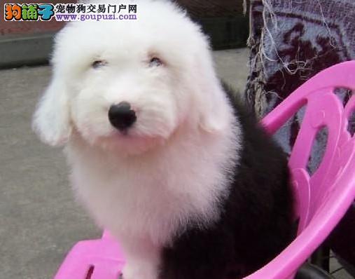 纯白头 赛级古牧幼犬 CKU认证犬舍 质量三包