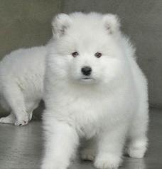 咱卖狗要对得起良心,卖的是品质,高品质澳版萨摩耶犬