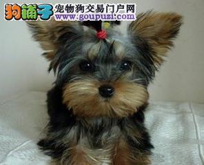 高品质的赛级约克夏幼犬出售了 疫苗做完 质量三包
