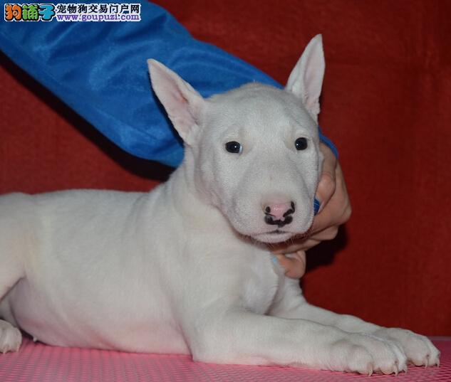 牛头梗幼犬、纯白色牛头梗 、海盗眼牛头梗
