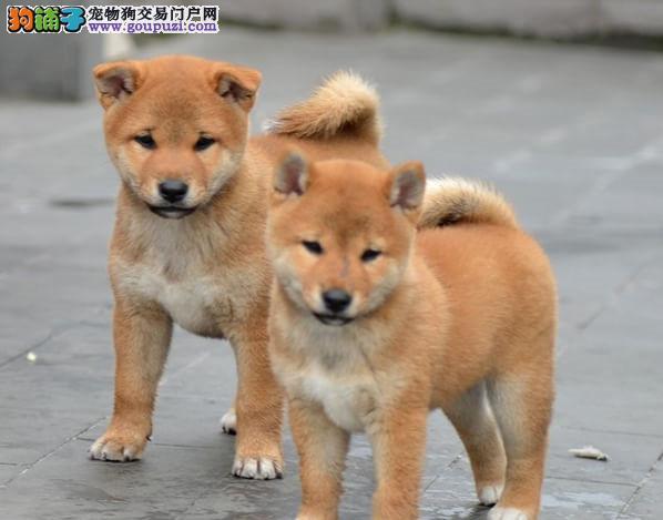 极品 柴犬 保证 纯种健康 CKU国际认证犬舍