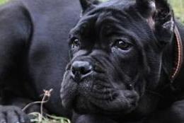 东莞繁育纯正血统卡斯罗犬已做完剪耳赛级品质卡斯罗