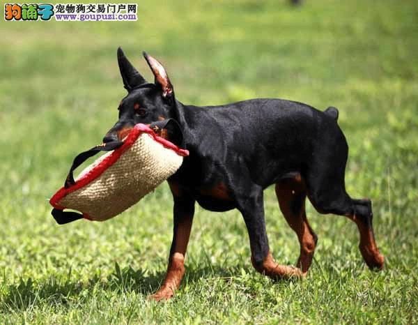 护卫杜宾犬笃宾犬南京市出售疫苗和驱虫均已做完