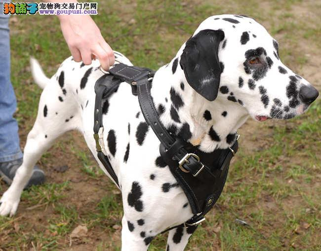 广州市出售斑点狗幼犬 已打疫苗 三个月包退换 包纯种