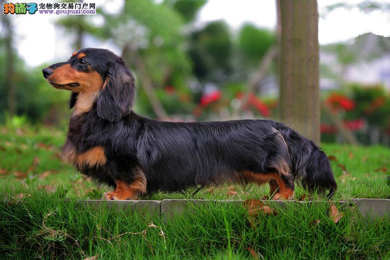 纯种健康腊肠犬正规狗场可签订协议 健康质保终务