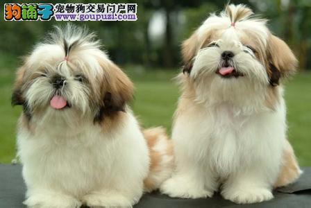 宠物狗狗纯种幼犬西施犬出售 疫苗齐全 健康保障