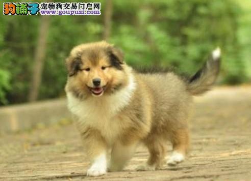 高品质苏牧幼犬出售了 疫苗做完 质量三包