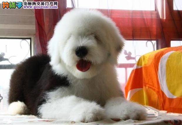 广州售古牧犬 古代牧羊犬幼犬公母全有品相极佳