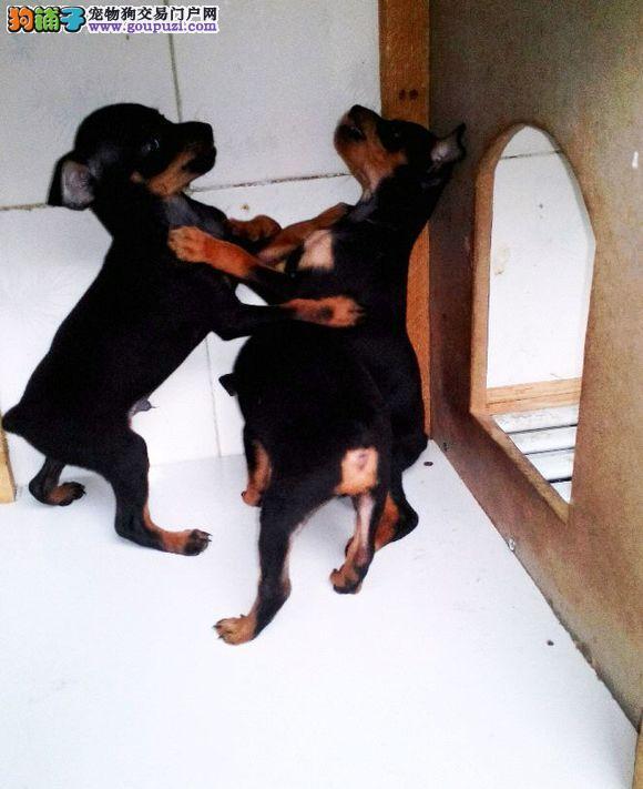 赛级 小鹿犬出售了 防疫驱虫已做完 质量三包