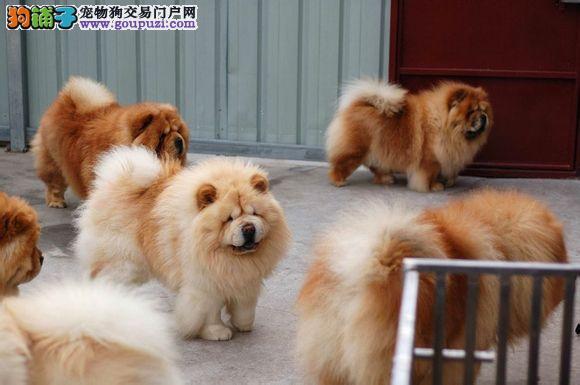 松狮犬养殖基地 纯种松狮 保纯保健康 完美售后