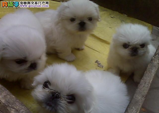 纯种京巴犬多只可选 正规犬舍出售 签订协议