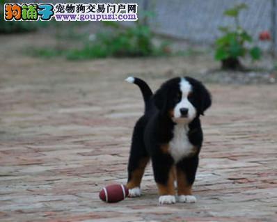 高品质伯恩山幼犬出售 疫苗做完 质量三包