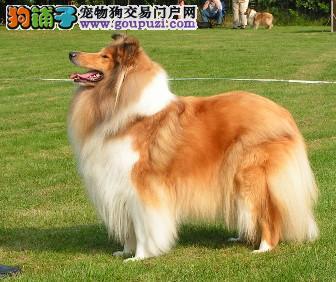 连云港出售完美体型苏牧幼犬迷你的毛色三色黑白苏牧