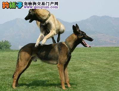 唐山市出售黑脸马犬 比利时马林诺斯犬,马里努阿犬