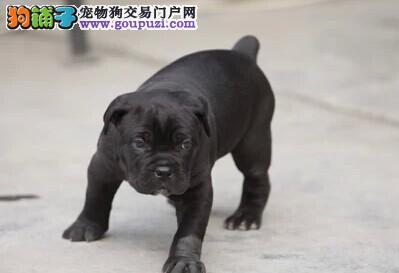 纯种卡斯罗犬 高大猛犬卡斯罗