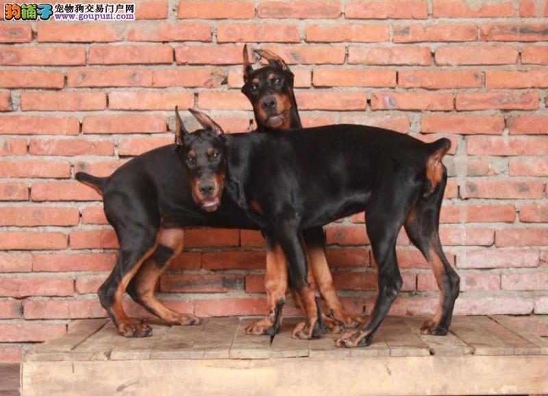 杭州热销纯种杜宾犬幼犬 骨量足签协议保健康 终身质保图片