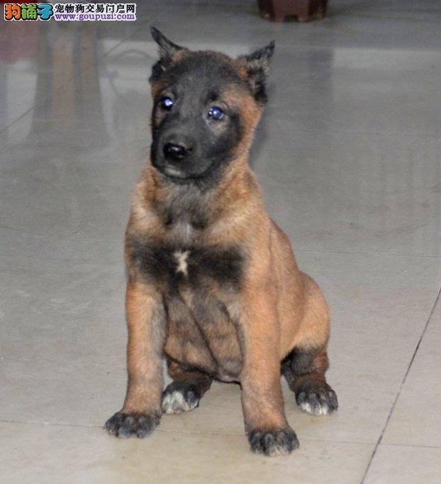 运城出售赛级马犬幼犬纯正血统比利时马犬健康活泼忠诚
