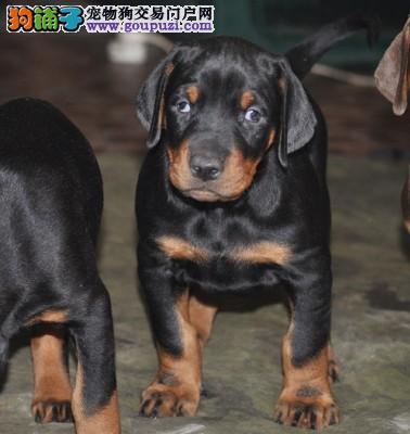 忠诚护卫犬 家养犬 纯种美系德系纯种杜宾犬幼犬出售图片