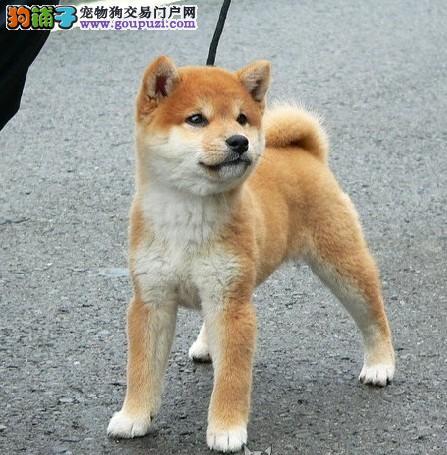 世界上最忠诚的犬郑州出售纯种健康的柴犬幼犬活泼靓丽