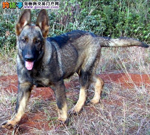 直销赛级昆明犬,完美品相 品质第一,全国送货上门