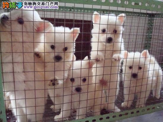 兰州售可爱的小银狐犬打好疫苗驱虫弄好 雪白的小型犬