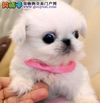 上海赛级北京犬纯种小体京巴狗幼犬 超级粘人超级听话