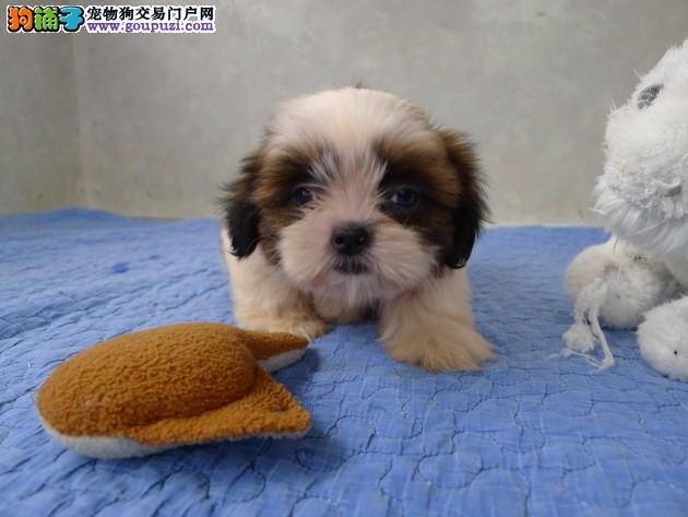 韩国引进种犬郑州繁殖出售赛级西施犬免费退换三年包治