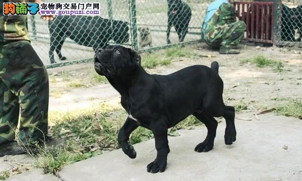 出售卡斯罗 幼犬 2 3个月都有