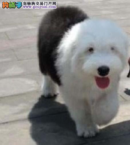 贵阳实体店热卖古代牧羊犬颜色齐全保证品质完美售后
