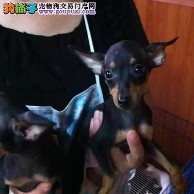 石家庄出售家养血统纯种的小鹿犬 疫苗齐全 包健康