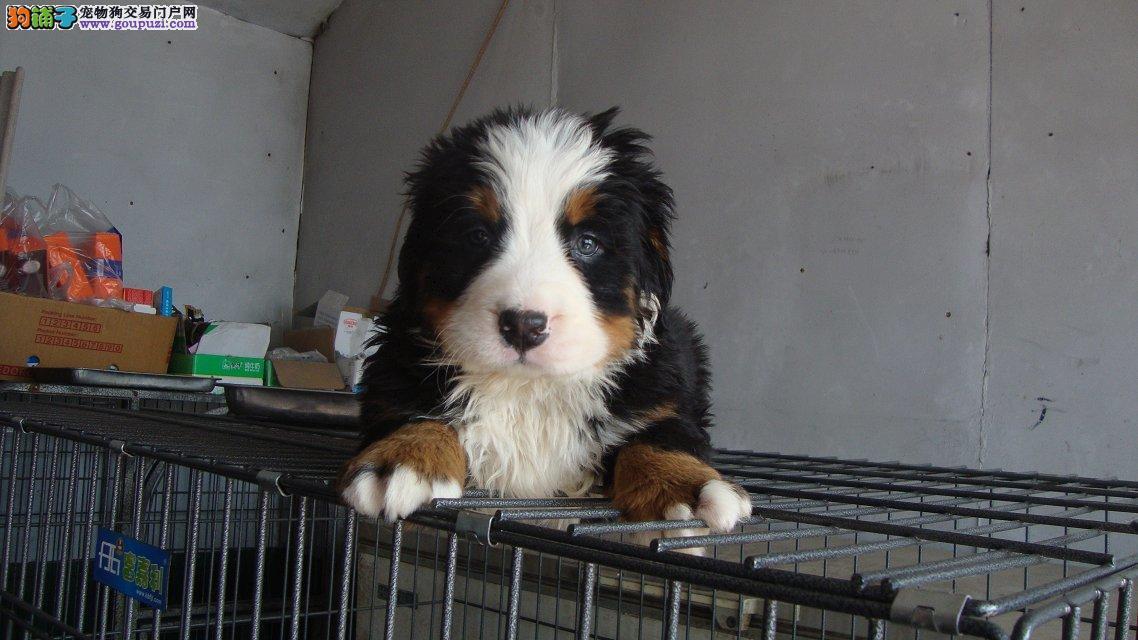 上海热销正宗伯恩山幼犬自己繁殖好品相健康保证可退换