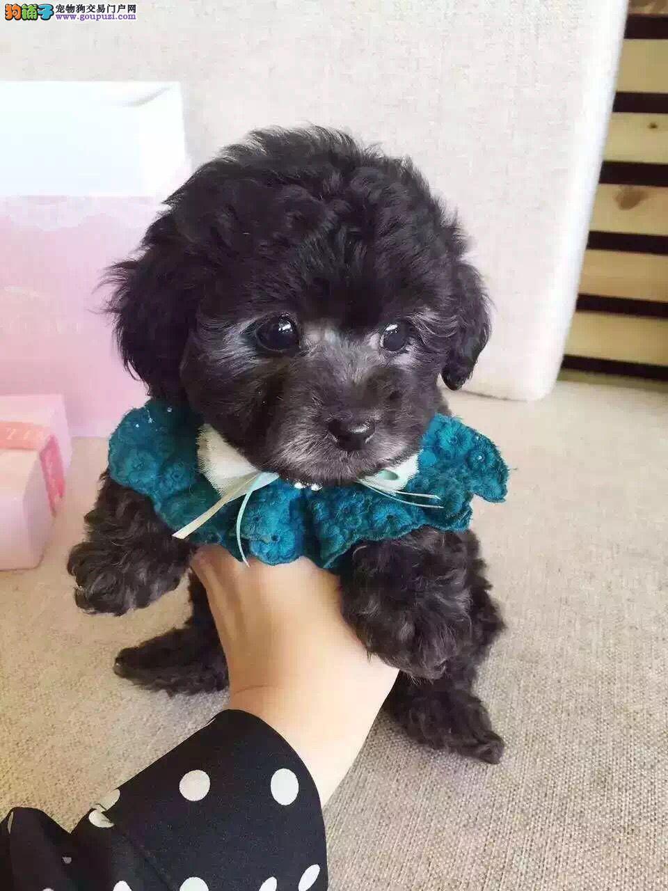 南宁大型培育中心出售多种颜色的泰迪犬 狗贩子绕行