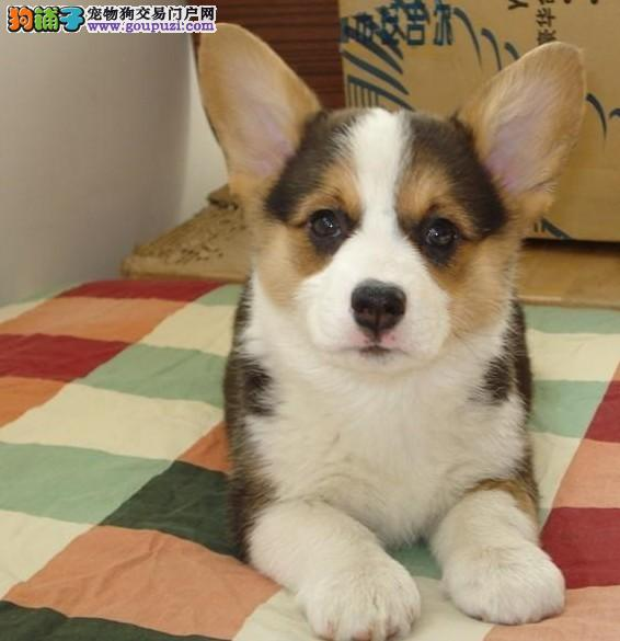 纯种 柯基幼犬出售 质量有保障