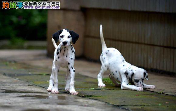 长沙哪里有卖斑点狗去哪里买好的斑点狗