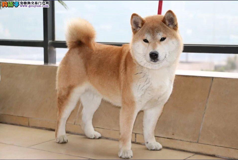 帅气的小柴犬,有兴趣的朋友看看