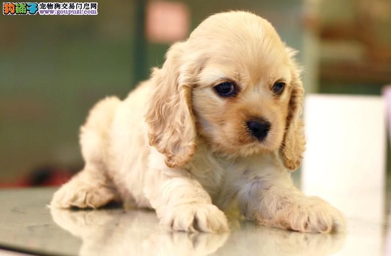 成都专业繁殖基地售赛级可卡犬签合同实地选狗公母均有