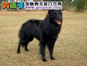 连云港出售自家繁殖赛级纯种比利时牧羊犬