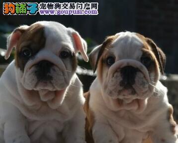 杭州纯种斗牛犬出售 疫苗驱虫已做英牛包品质健康