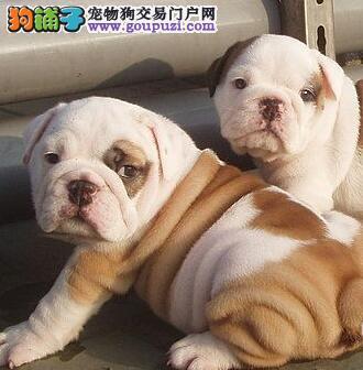 武汉售纯种斗牛犬 英牛 英国斗牛犬幼犬
